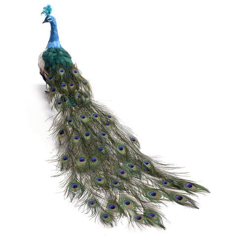 LARGE PEACOCK - CLOSED TAIL Turquoise