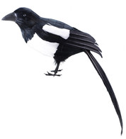 MAGPIE - Black And White
