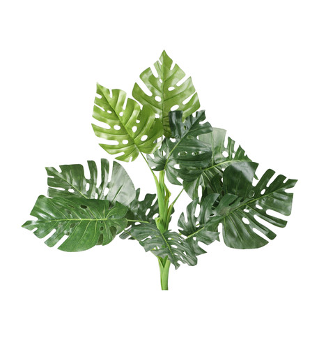 SWISS CHEESE PLANT Green