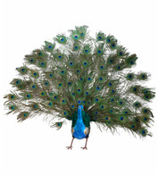PEACOCK LARGE - OPEN TAIL - Turquoise