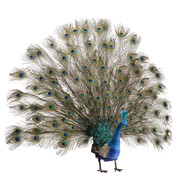 LARGE PEACOCK - OPEN TAIL - Blue