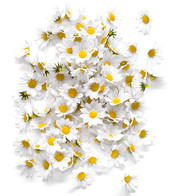 DAISY HEADS - White
