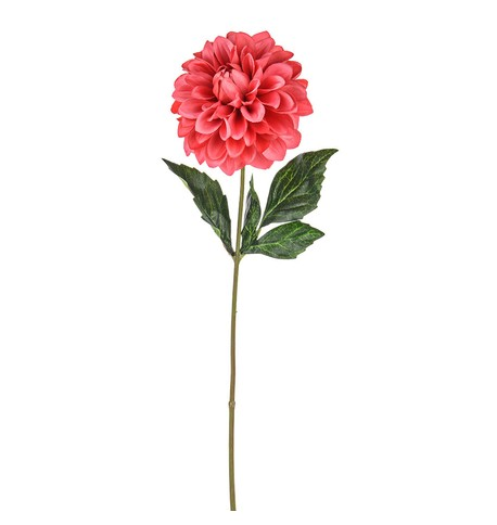 Dahlias Pink
